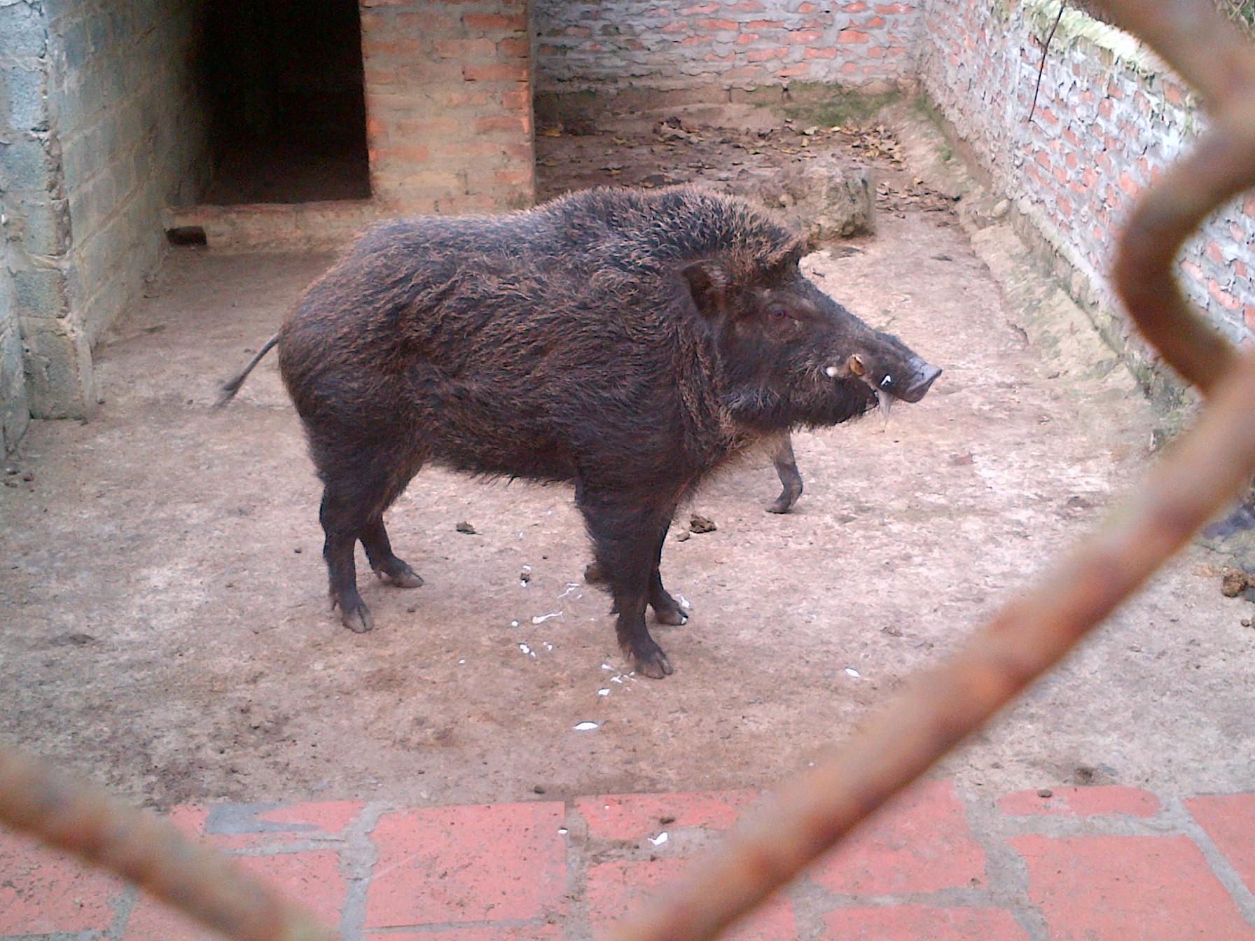 lợn rừng đực