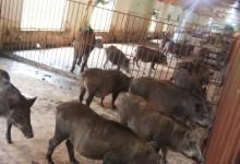 đàn lợn rừng hậu bị