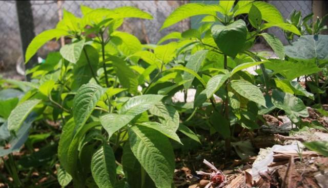 khu trồng thuốc nam cho lợn rừng