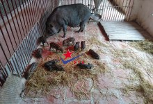 đàn lợn rừng con
