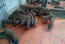 Lợn rừng con