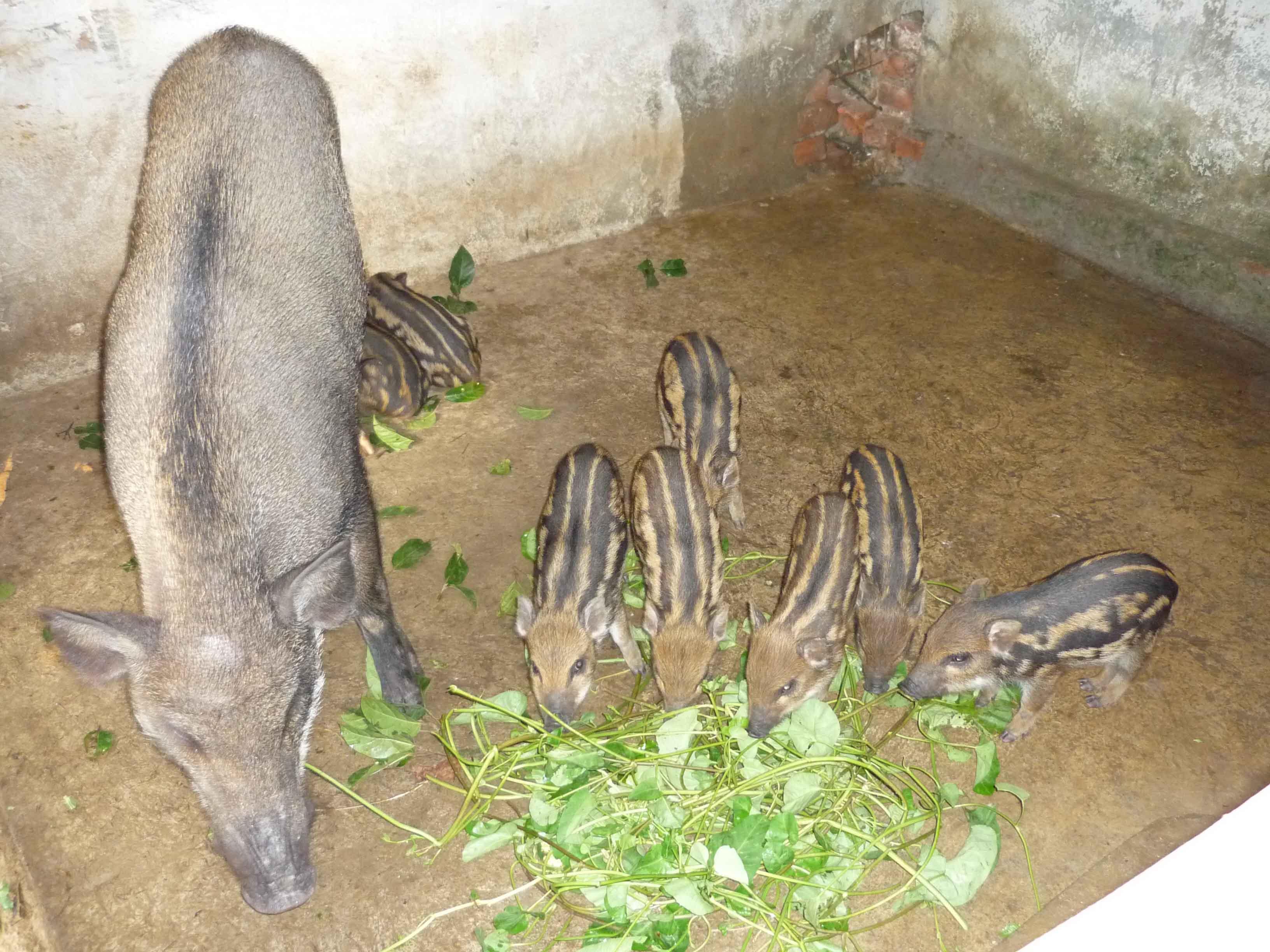 lợn rừng mẹ và lợn rừng con