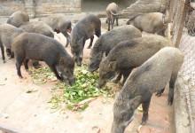 lợn rừng nuôi thịt