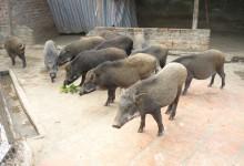 thịt lợn rừng