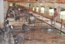 đàn lợn rừng sinh sản