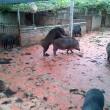 Lợn rừng mẹ động dục