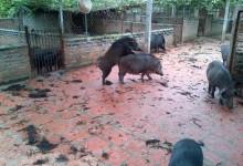 Lợn mẹ động dục