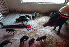 lợn rừng cái nuôi con