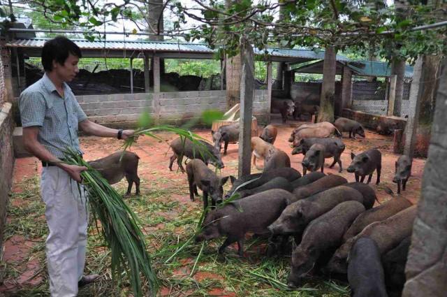Đàn lợn rừng hậu bị sinh sản
