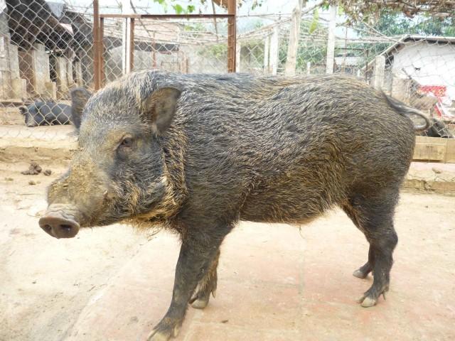 lợn rừng cái