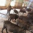 lợn rừng hậu bị