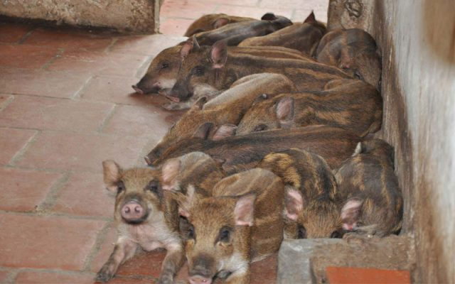 phân loại lợn rừng