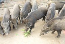 đàn lợn rừng thịt