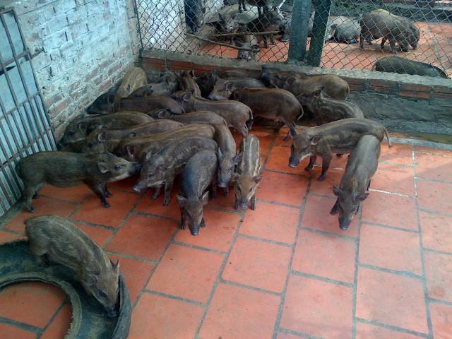 lợn rừng giống con nuôi thương phẩm