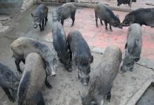 lợn rừng thương phẩm